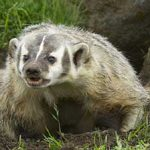 Badgers And Blood Oranges