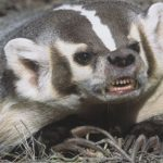Badger Theory Blues